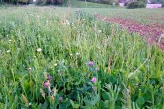 Wildblumenwiese wächst erneut