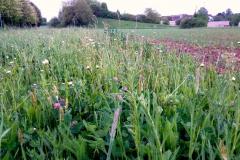 Wildblumenwiese SCW wächst erneut