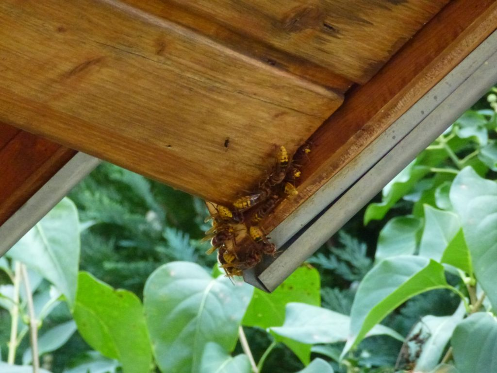 Hornissennest im Dachüberstand